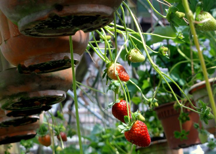 Strawberry pot farming (and picking) in the Cameron Highlands