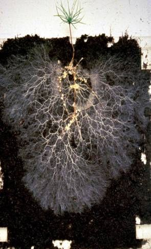 Arbuscular mycorrhizal fungus. Apply 100g Mycoroot™ Green per 10m2 (200Kg / ha). Incorporate into the soil or growing medium. Seed lawn or plant transplants. Water after planting.: