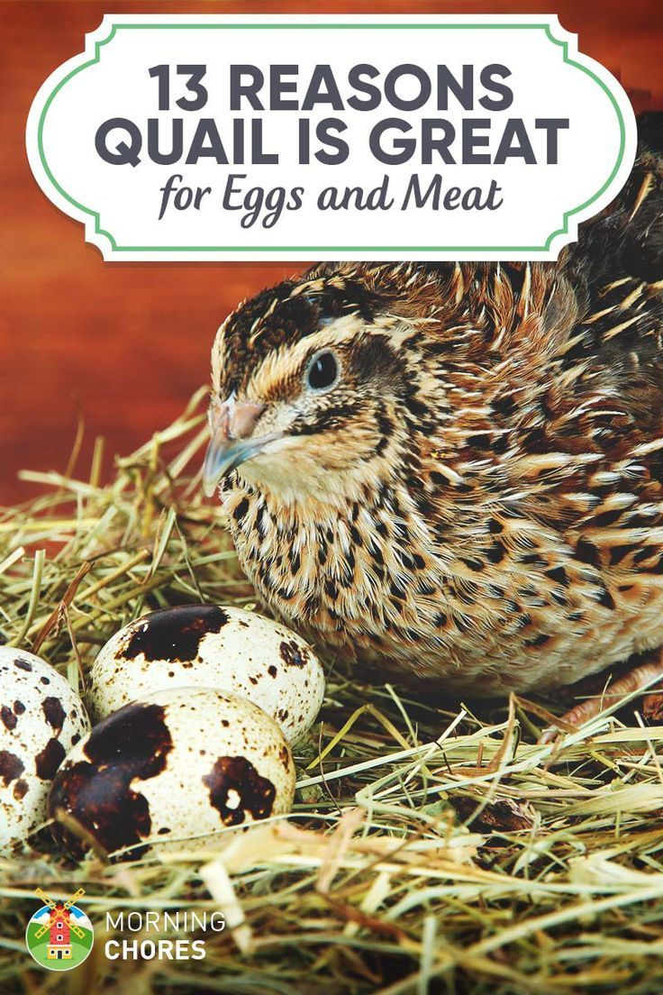 162 best raising quail farm animals images on pinterest