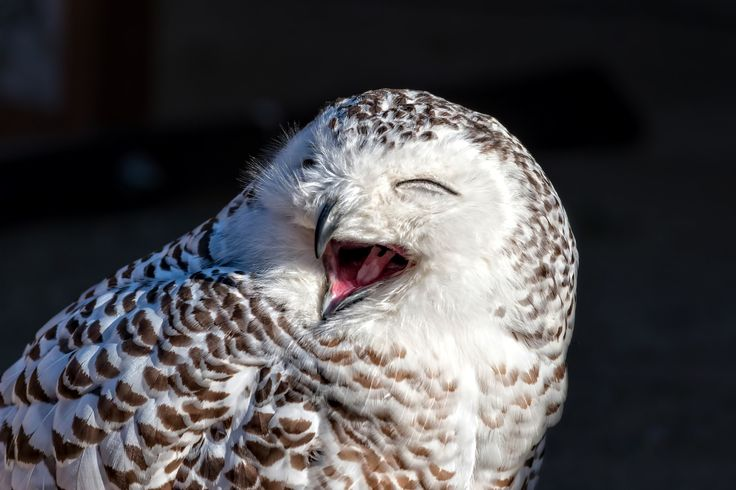 Close up of snowy owl (Bubo scandiacus) - Close up of snowy owl (Bubo scandiacus)