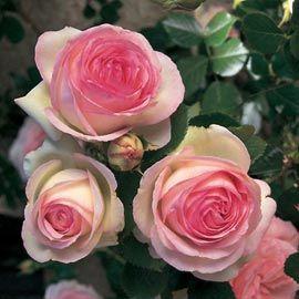 Rosier grimpant 'Pierre de Ronsard®' .. un des nombreux rosiers présent au Domaine du Martinaa  ..... quelques 200 rosiers parmi tant d'autres plantes ... à découvrir pendant vos weekends ou vacances en gite ... Kiss from Normandy ... Bises du Martinaa ... Valérie .... 02 31 32 24 80 ou www.martinaa.fr
