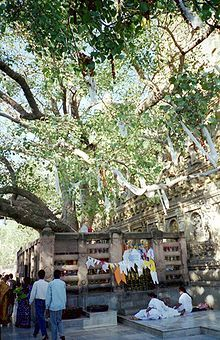 """The """"Bodhi Tree"""" is a Sacred Fig, at the Mahabodhi Temple, Bodh Gaya, India. Buddhist legend tells of how Gautama Buddha attained enlightenment while meditating underneath the Bodhi Tree in Bodh Gaya, with a known planting date of 288 BC, this gives it the oldest verified age for any flowering plant. Not all Sacred Figs can be called a 'Bodhi tree', to receive that distinction they must be able to trace parentage to the first Bodhi tree under which the Lord Gautama Buddha gained…"""
