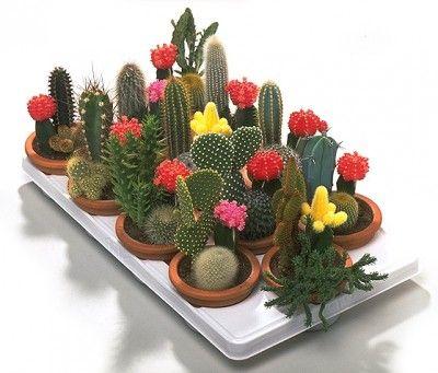 Todo sobre cactus y suculentas cactus - Composiciones de cactus ...