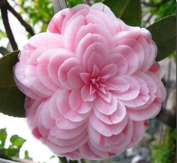 2547 best beautiful flowers images on pinterest beautiful images japanese camellia camellia japonica plant information healthy home gardening pictures video and information about japanese camellia mightylinksfo Image collections