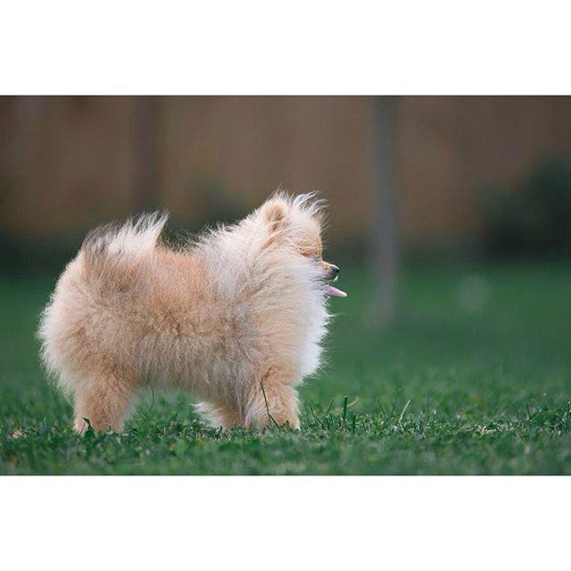 #instadog #puppy #dog #собака #щенок #друг #другчеловека #instapet #instapets #шпицмишка #мойшпиц #померанец #sun #summer #shpits #shpitz #pomeranian #pom #померанский #шпиц #шпицулька  #померашка #моясобака #cutedog #lovemypom #pomstagram #woof