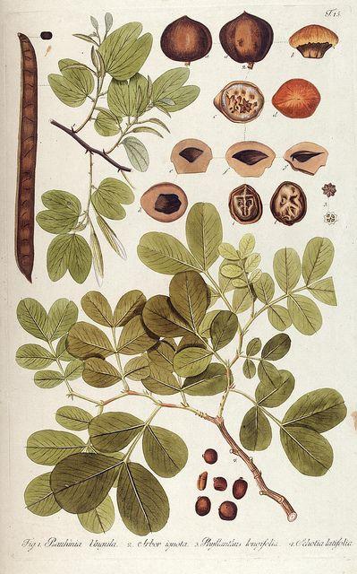 Scientific Illustration | jomobimo: Plate 15, Fragmenta botanica, figuris...