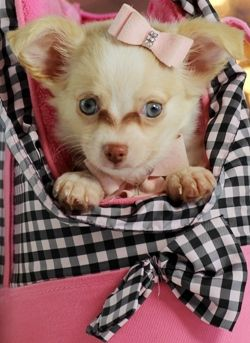 Beautifully colored Teacup Chihuahua