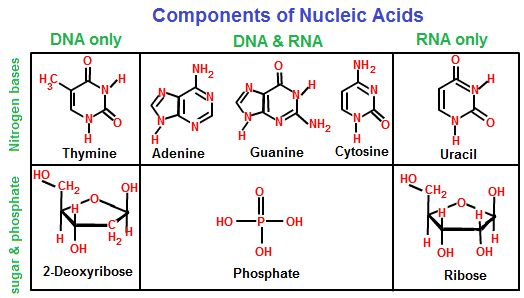 Components of Nucleic Acids