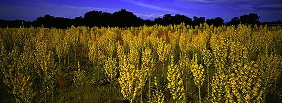 Virágzik a nagy ökörfarkkóró a Bakony lábánál. A gyógynövények még ezer indával kötődnek kultúránkhoz, mégsem mindig tudjuk, hol a helyük modern életünkben.