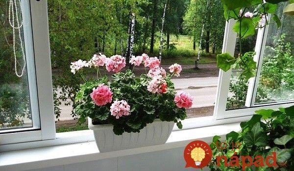 Zmes pre najkrajšie kvety muškátov: Vyskúšala a som už minulý rok a odporúčam každému!