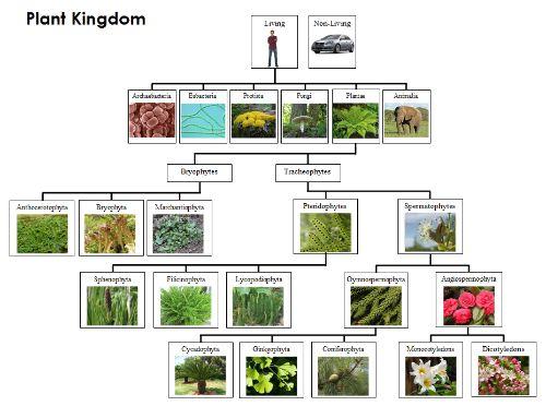 Plant Kingdom Charts & Cards | Kingdom, Plants, Chart