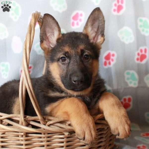 Kali German Shepherd Puppy For Sale In Pennsylvania Shepherd