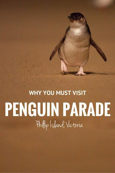 Phillip Island is about 90 mins from Melbourne. According to the Penguin Parade website, about 32,000 little penguins that call Phillip Island home. CUTE!