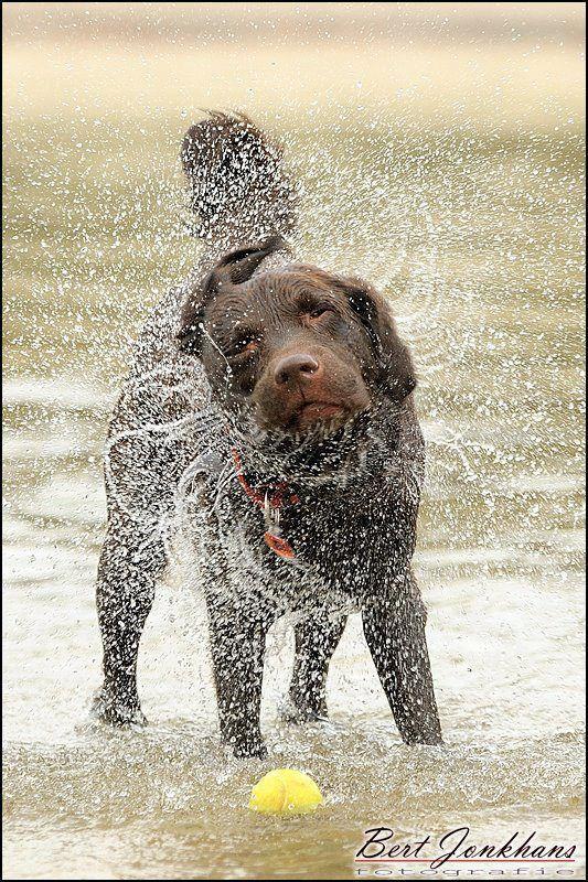 Chocolate Labrador Retriever - captured in motion Amazing shot.