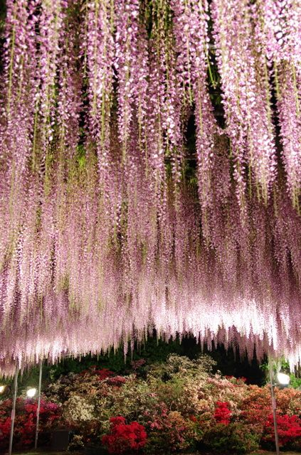 Wisteria, Ashikaga Flower Park, Tochigi, Japan