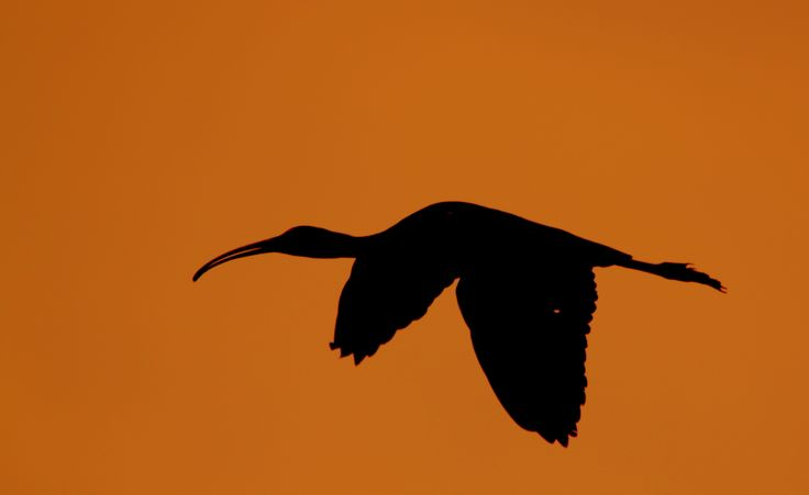 glossy ibis by www.chettusia.com