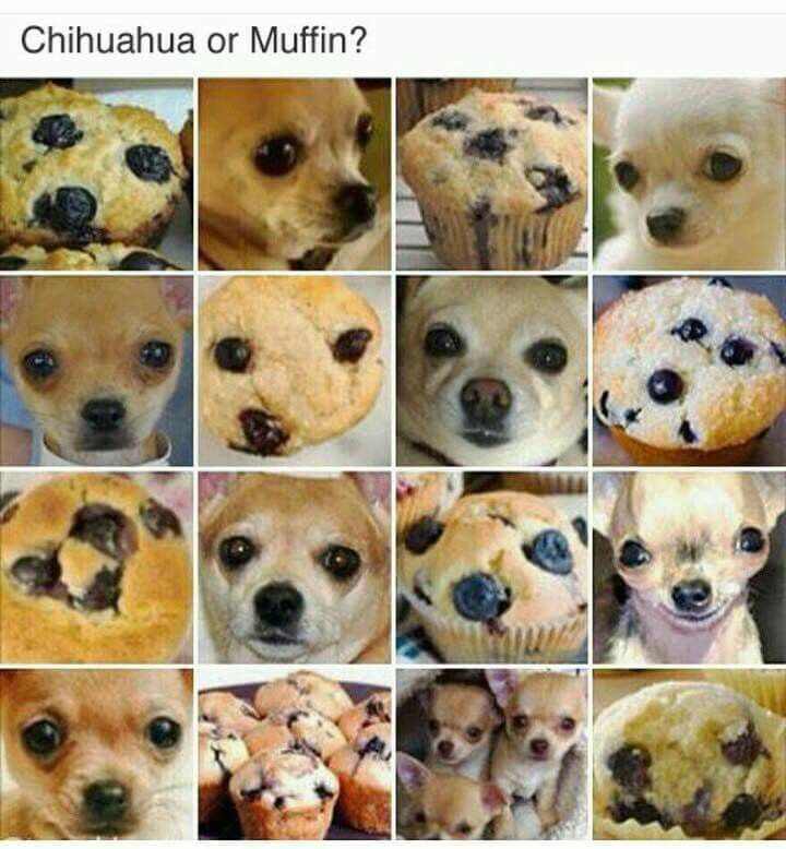 Chihuahua or Muffin Meme - photos by Karen Zack (@teenybiscuit) #ChihuahuaMeme #ChihuahuaOrMuffin #KarenZack