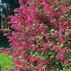 Die Blutjohannisbeere ist eine der beliebtesten Sträucher in den heimischen Gärten, nicht nur weil sie schöne Farbakzente setzt.Ihre blutroten Blütentrauben erscheinen von April bis Mai vor dem Laubaustrieb und machen den Zierstrauch zu einem absoluten Hingucker. Die Blutjohannisbeere, die auch Zierjohannisbeere genannt wird, hat einen aufrechten, dichten Wuchs. Sie erreicht eine ungefähre Höhe von 2 Metern und ist gut frosthart und schnittverträglich.