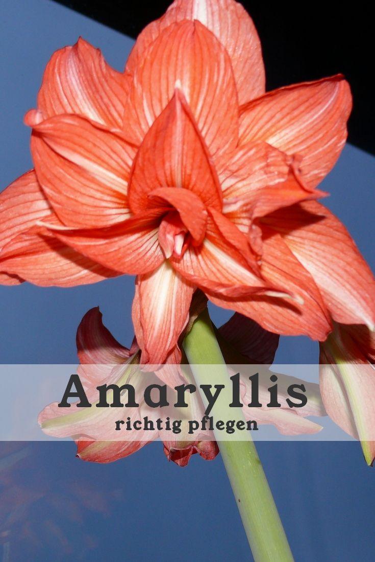 amaryllis wie oft gießen