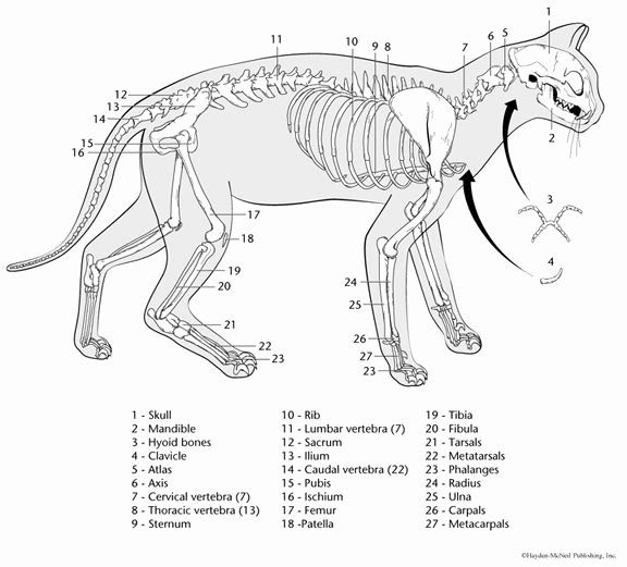 - Animal Anatomy Coloring Book Awesome Animal Anatomy Pages Print Outs  Coloring Pages In 2020 Cat Coloring Book, Cat Anatomy, Cat Skeleton