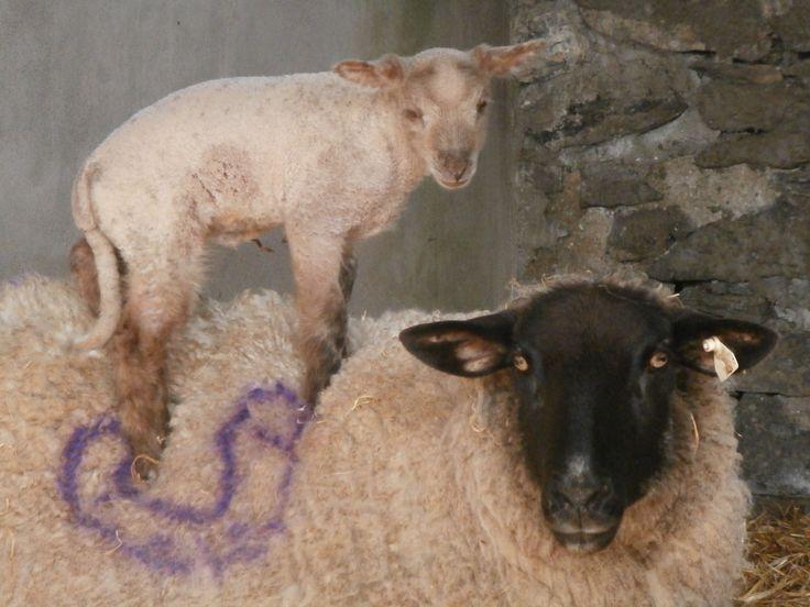 sheep, lamb, surfing