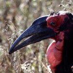 Southern Ground Hornbill I Love Kruger Park