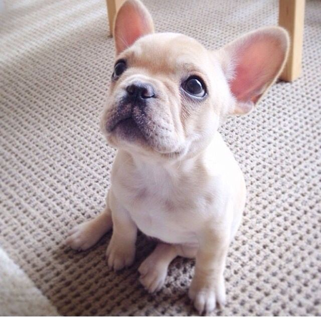 Cute Quotes In French: 17 Best French Bulldog Quotes On Pinterest