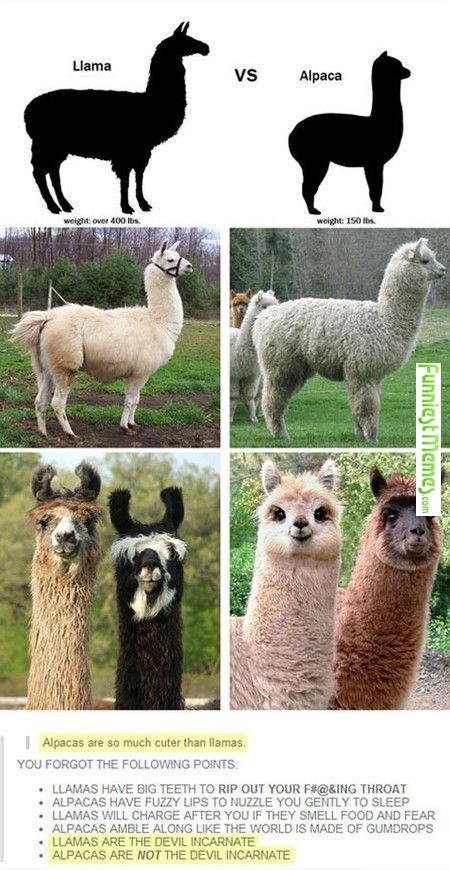 People think Hufflepuffs are llamas when we're really alpaccas