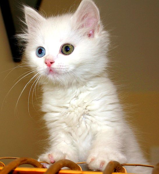 A typical odd-eyed Van Cat kitten.