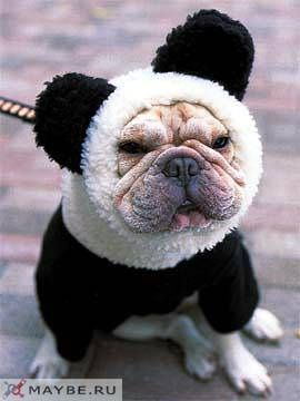 i love pandas and i love frenchies so it's only natural