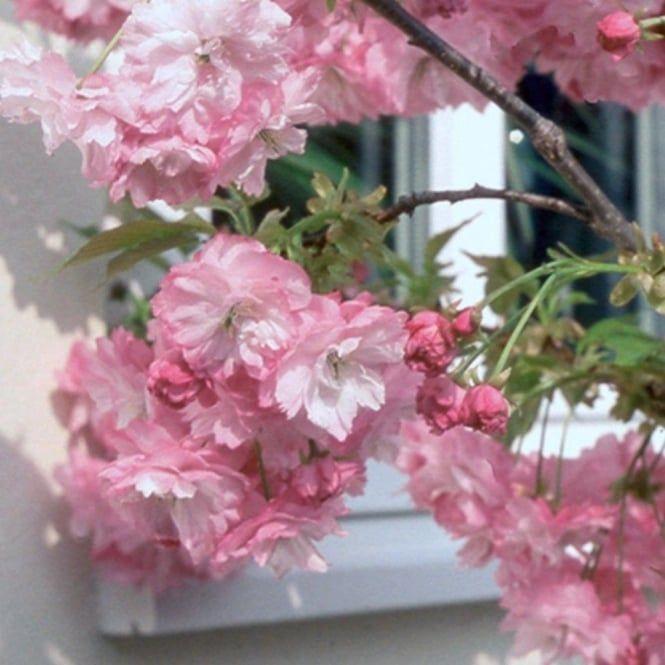 Prunus Little Pink Perfection Tree Flowering Cherry Tree Weeping Cherry Tree Dwarf Cherry Tree