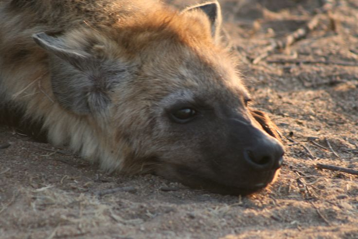 Hyena taking a nap in the heat at Kruger Nation Park