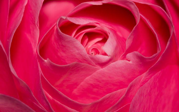 1920x1200 pink rose hd quality desktop wallpaper