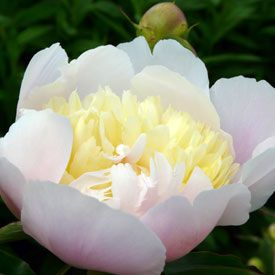 Paeonia lactiflora 'Primevere' - Edel-Pfingstrose