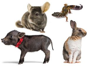 4 Cool, Unique Pets That Are Good to Own: Chinchillas, Lizards, Pigs, Rabbits || Woman's Day