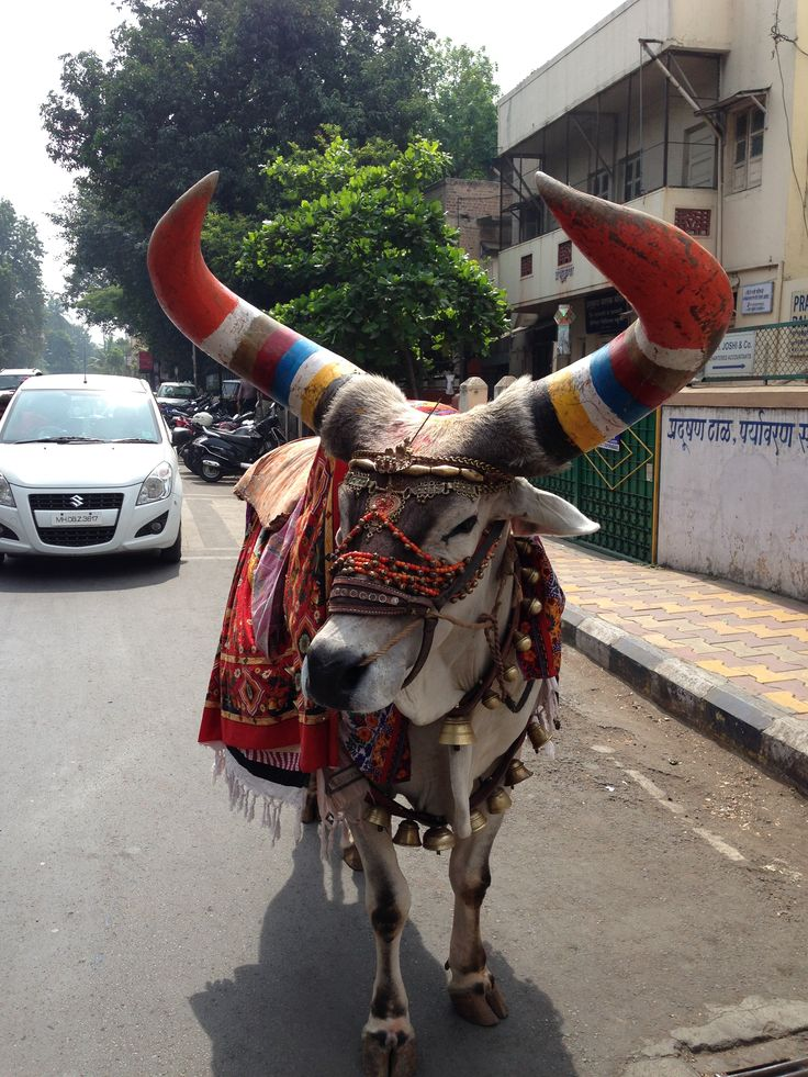 Sacred cow Pune India great colours which inspire my work