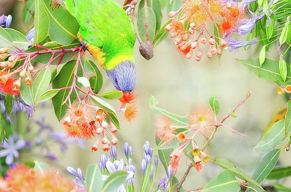 Rambunctious lorikeets are a common visitor to Australian gardens, Sydney