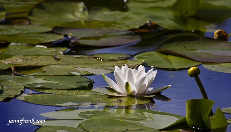 Waterlily.  Take it slow, and enjoy the good things around you :) www.jannifrank.com