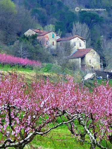 Peach blossoms in Tuscany