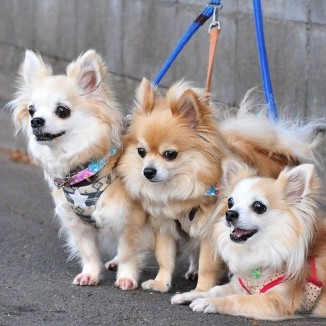 long haired chihuahua ears 25 best ideas about pomeranian home stratosphere's interior design software reviews home stratosphere's interior design software reviews
