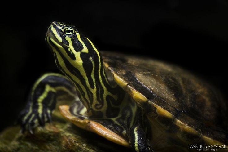 """""""Water Totem"""", fotografía de una de las especies de tortuga del Vigozoo."""