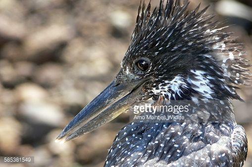 Stock Photo : Giant kingfisher (Megaceryle maxima)