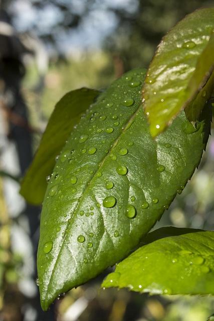 Leaf (C) Amarantis