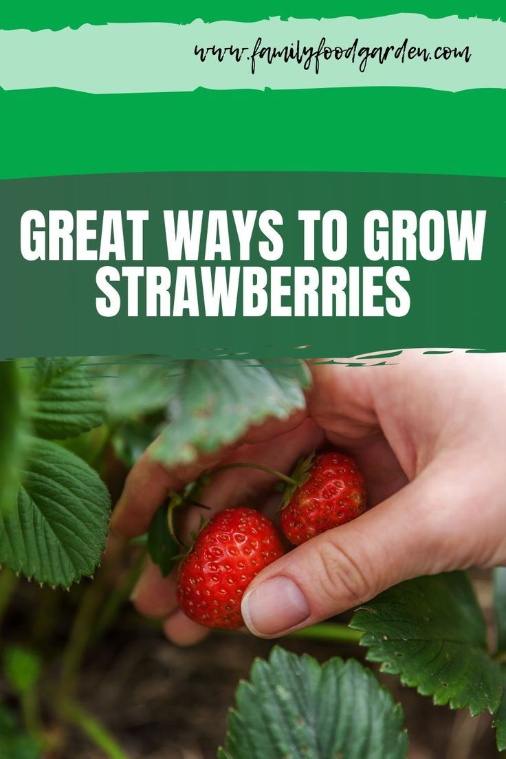 Best Way To Grow Strawberries In Containers 2020 Family Food Garden In 2020 Strawberries In Containers Growing Strawberries Growing Strawberries In Containers