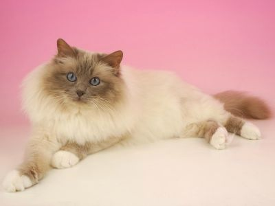 The Birman Cat Club Birman cat, Cats, Birman kittens