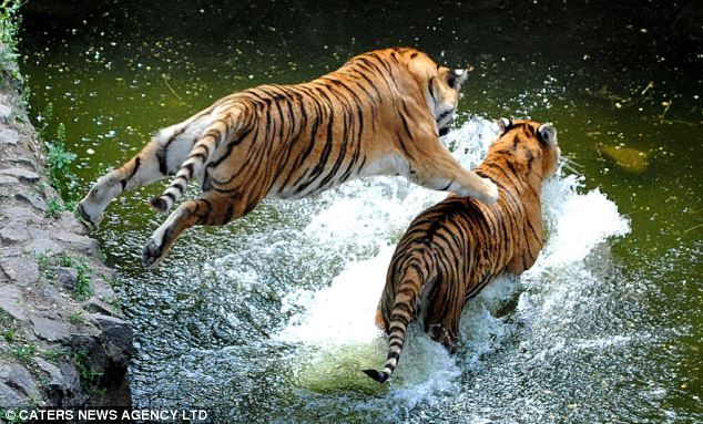 Tiger Brothers1 Now thats what you call a cat fight! Tiger brothers try to show each other whos boss