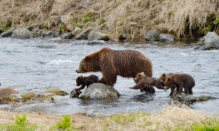 Игорь Шпиленок - Самапятая: открытие рыболовного сезона Amazing bears family photos