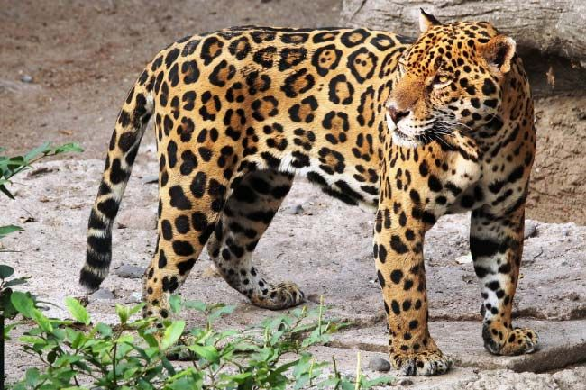 Animals That Start With J List Of Amazing Animals Beginning With J Animals Small Wild Cats Jaguar Animal