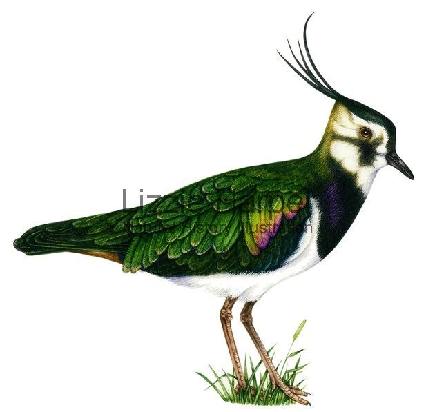 Watercolour illustration of a Lapwing (Vanellus vanellus). Also referred to as Northern lapwing, Green plover and Peewit.- Illustrated by Lizzie Harper