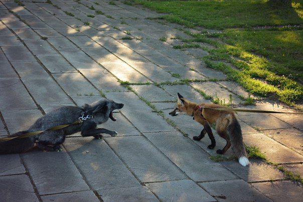 Лиса,лис, лисы, лиска,фэндомы,Домашние лисы,домашняя лиса,лис Спайк,живность